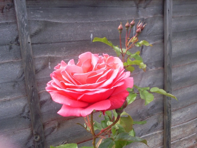 rose in the back garden